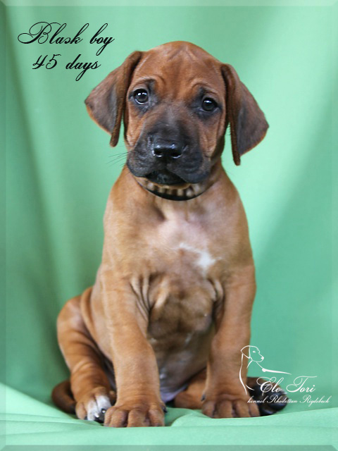 G-litter Rhodesian Ridgeback puppies, Ele Tori kennel