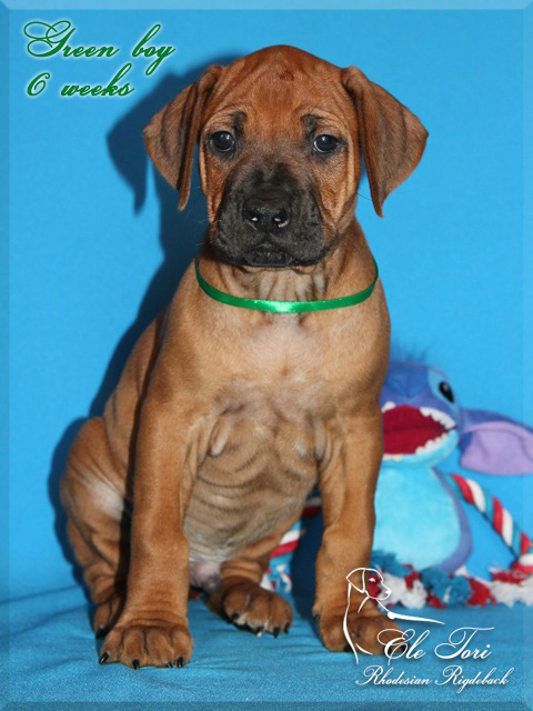 D-litter Rhodesian Ridgeback puppies, Ele Tori kennel