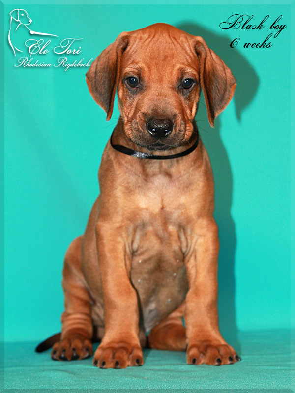 E-litter Rhodesian Ridgeback puppies, Ele Tori kennel