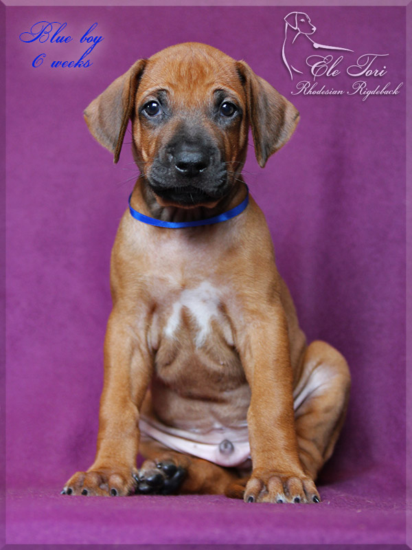 J-litter Rhodesian Ridgeback puppies, Ele Tori kennel