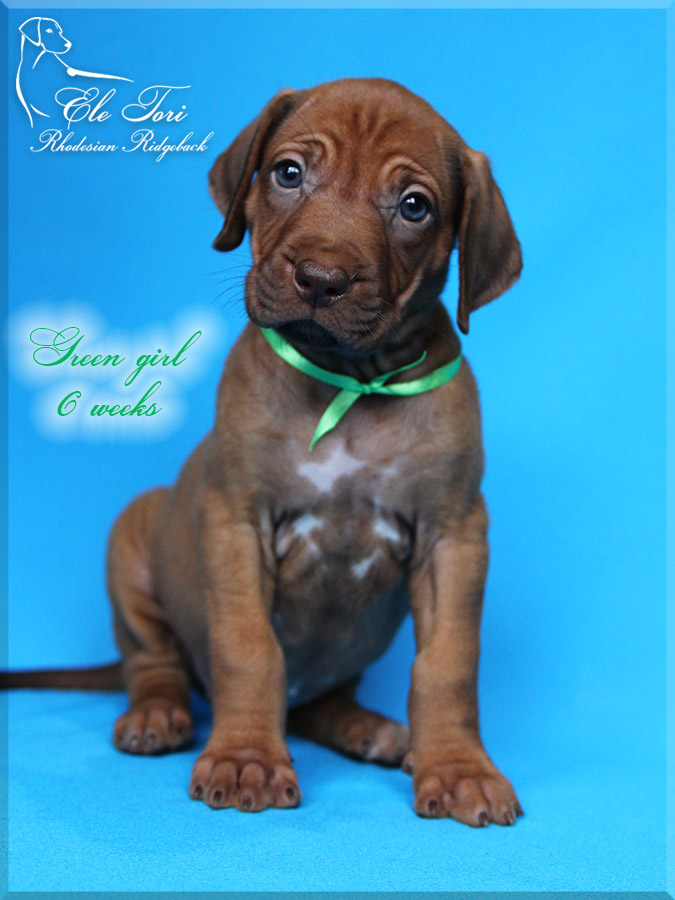 Z-litter Rhodesian Ridgeback puppies, Ele Tori kennel