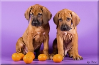 A-litter Rhodesian Ridgeback puppies, Ele Tori kennel