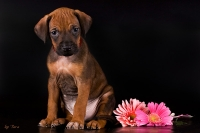 B-litter Rhodesian Ridgeback puppies, Ele Tori kennel